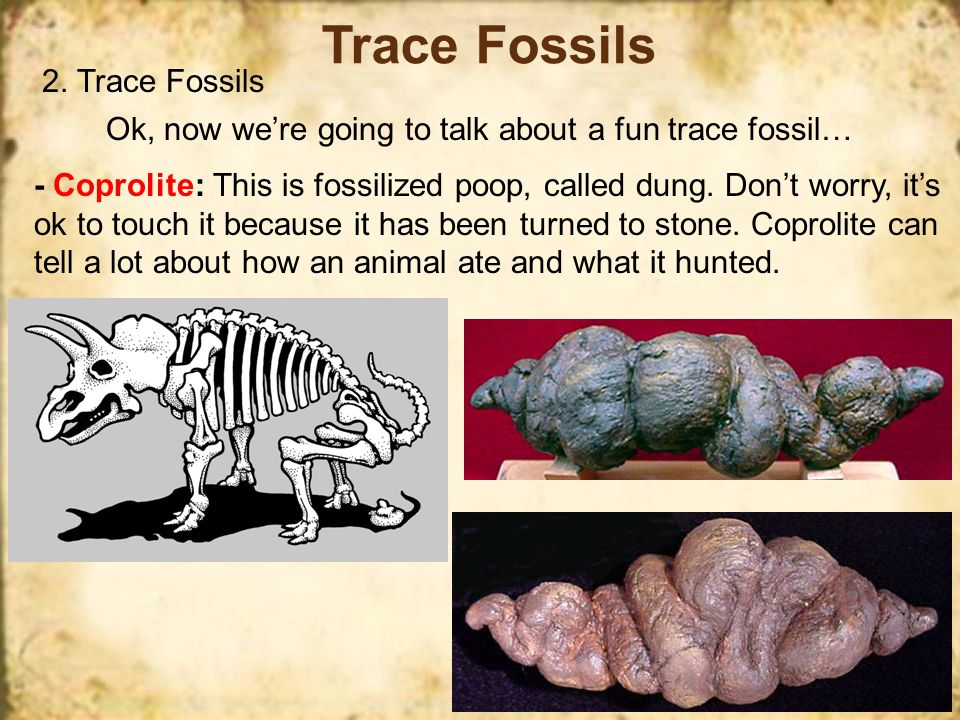 Trace Fossils 2. Trace Fossils - Tracks: can show how an animal moved and what its footprint looked like. These tracks can tell us a lot about the ani