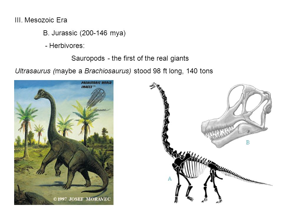 III. Mesozoic Era B. Jurassic (200-146 mya) - Herbivores: Sauropods - the first of the real giants Ultrasaurus (maybe a Brachiosaurus) stood 98 ft lon