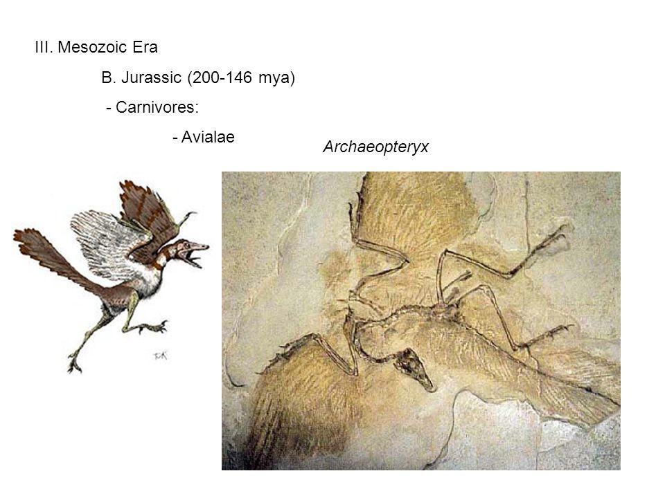III. Mesozoic Era B. Jurassic (200-146 mya) - Carnivores: - Avialae Archaeopteryx
