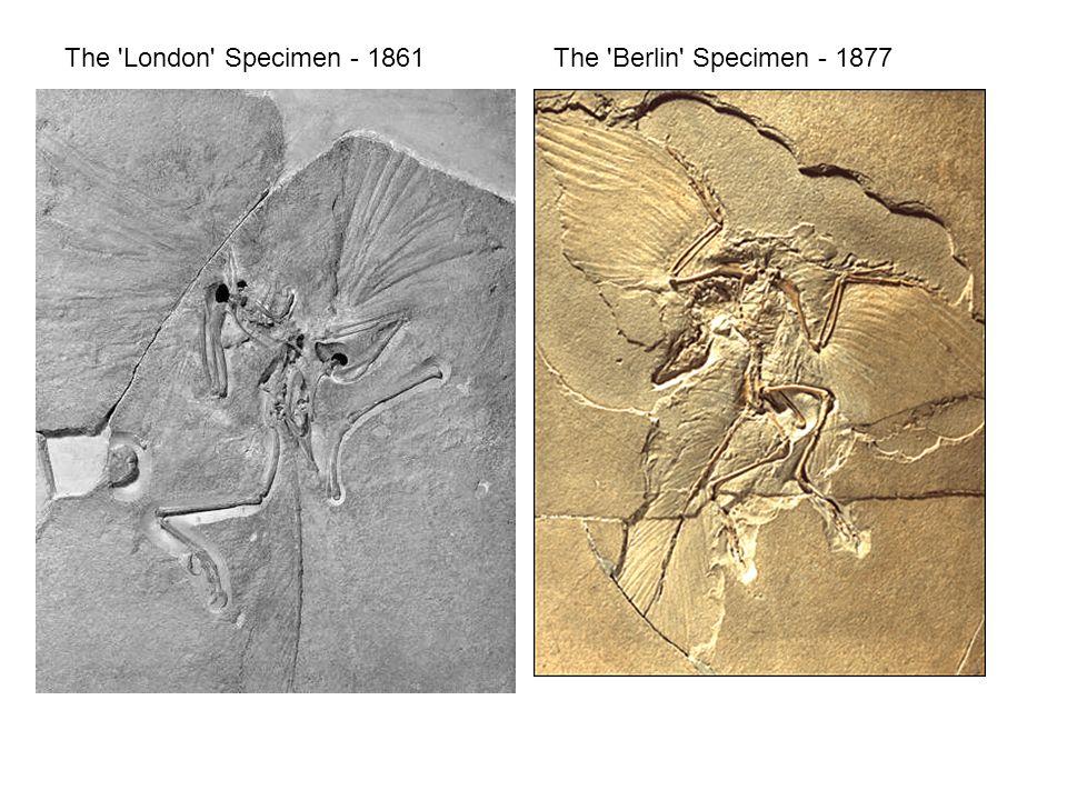 The London Specimen - 1861The Berlin Specimen - 1877