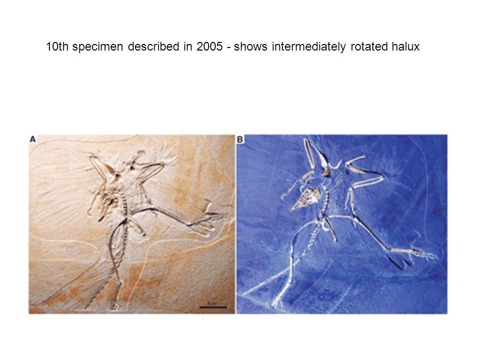 10th specimen described in 2005 - shows intermediately rotated halux