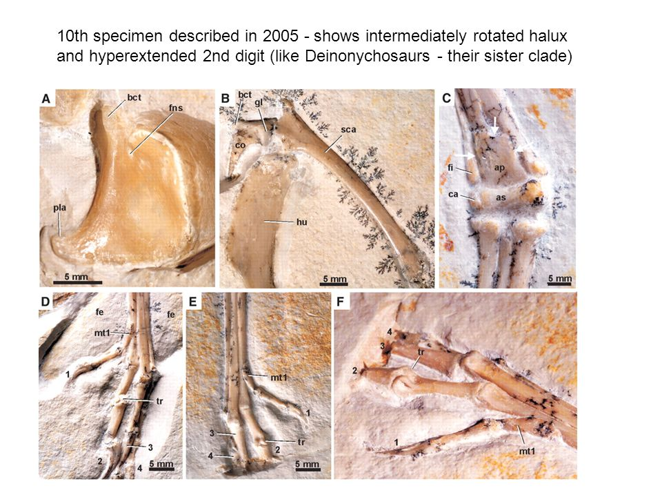 10th specimen described in 2005 - shows intermediately rotated halux and hyperextended 2nd digit (like Deinonychosaurs - their sister clade)