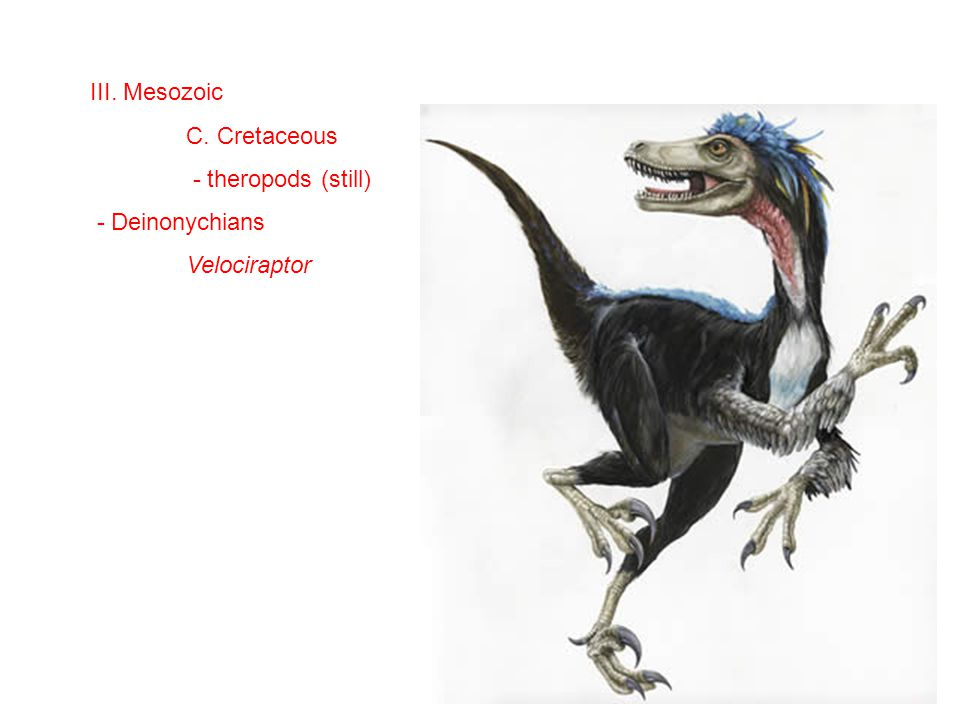 III. Mesozoic C. Cretaceous - theropods (still) - Deinonychians Velociraptor