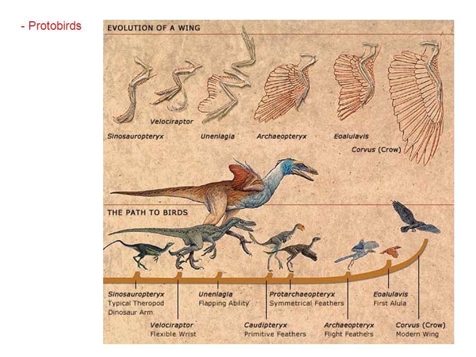 - Protobirds