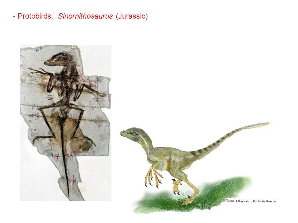 - Protobirds: Sinornithosaurus (Jurassic)