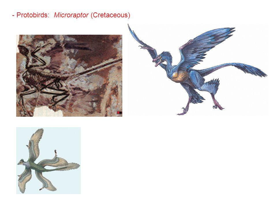 - Protobirds: Microraptor (Cretaceous)