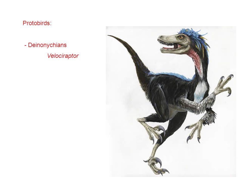 Protobirds: - Deinonychians Velociraptor
