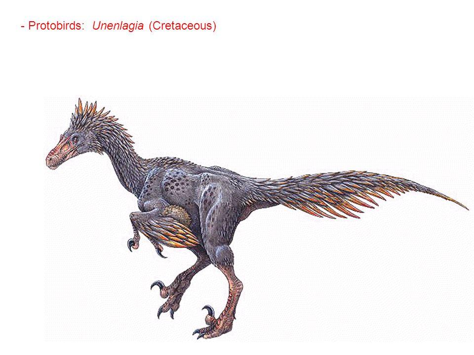 - Protobirds: Unenlagia (Cretaceous)