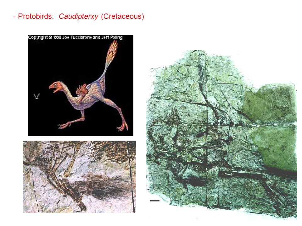 - Protobirds: Caudipterxy (Cretaceous)