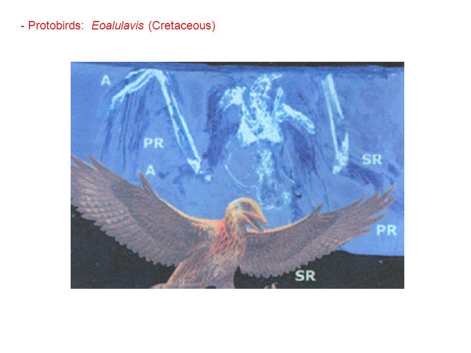 - Protobirds: Eoalulavis (Cretaceous)