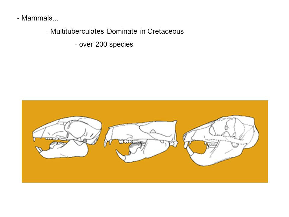 - Multituberculates Dominate in Cretaceous - over 200 species