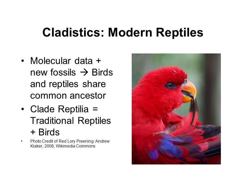 Cladistics: Modern Reptiles Molecular data + new fossils  Birds and reptiles share common ancestor Clade Reptilia = Traditional Reptiles + Birds Photo Credit of Red Lory Preening: Andrew Kraker, 2008, Wikimedia Commons