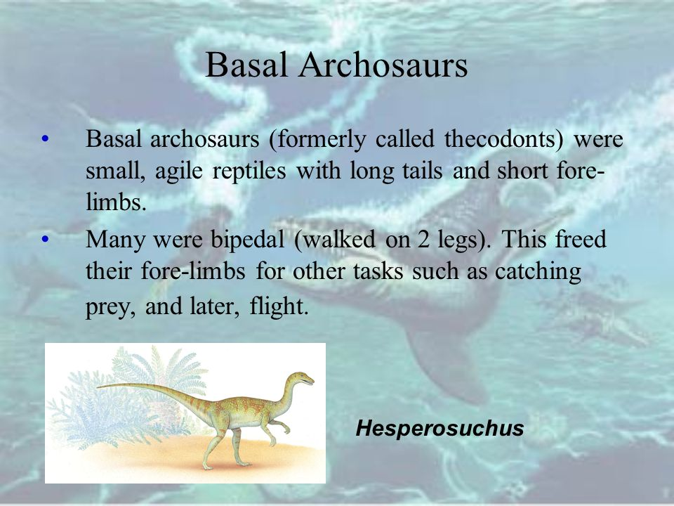 Basal Archosaurs Basal archosaurs (formerly called thecodonts) were small, agile reptiles with long tails and short fore- limbs.