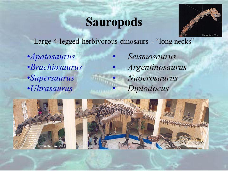 "Sauropods Large 4-legged herbivorous dinosaurs - ""long necks"" Seismosaurus Argentinosaurus Nuoerosaurus Diplodocus Apatosaurus Brachiosaurus Supersaur"