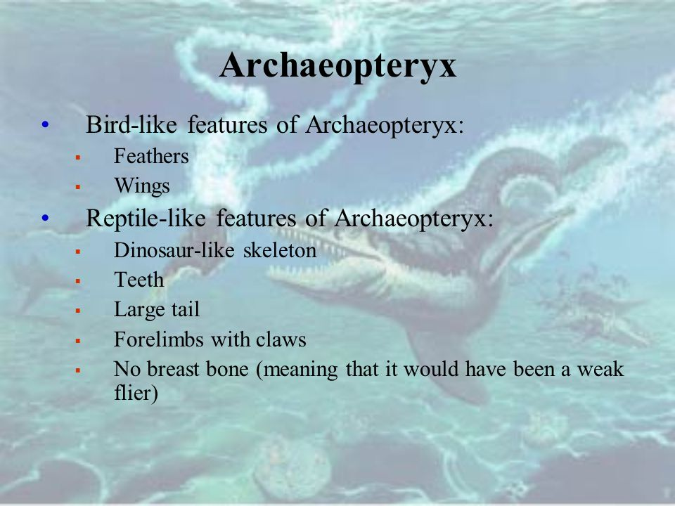 Archaeopteryx Bird-like features of Archaeopteryx:  Feathers  Wings Reptile-like features of Archaeopteryx:  Dinosaur-like skeleton  Teeth  Large tail  Forelimbs with claws  No breast bone (meaning that it would have been a weak flier)
