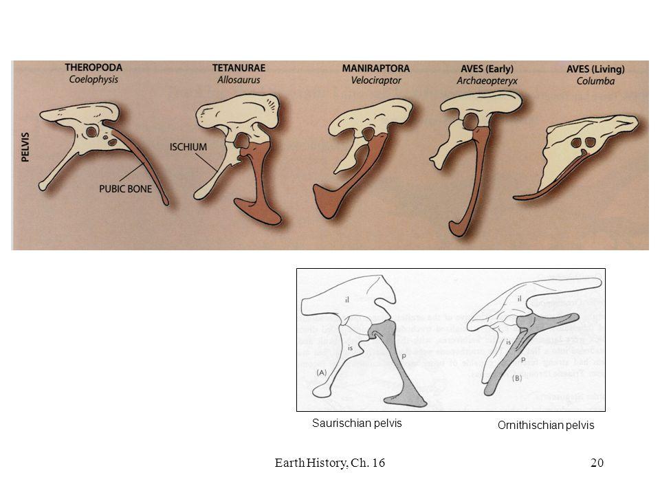 Earth History, Ch. 1620 Saurischian pelvis Ornithischian pelvis