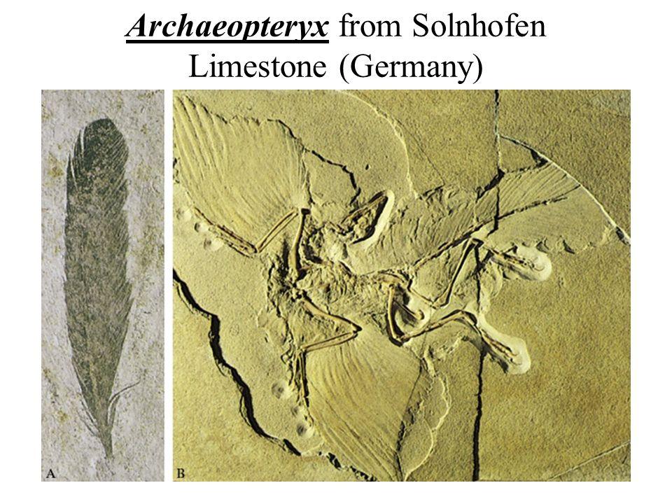 Earth History, Ch. 1627 Archaeopteryx from Solnhofen Limestone (Germany)