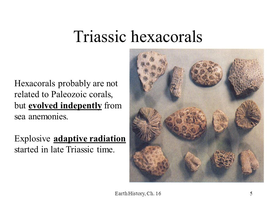 Earth History, Ch. 165 Triassic hexacorals Hexacorals probably are not related to Paleozoic corals, but evolved indepently from sea anemonies. Explosi