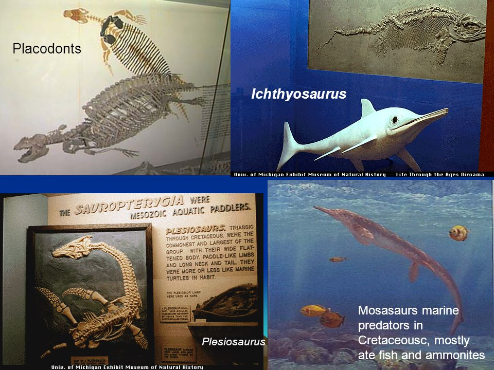 Placodonts Ichthyosaurus Plesiosaurus Mosasaurs marine predators in Cretaceousc, mostly ate fish and ammonites