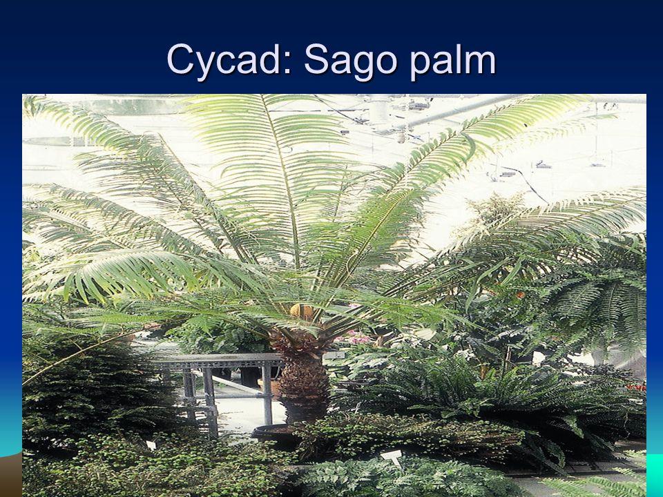 Cycad: Sago palm