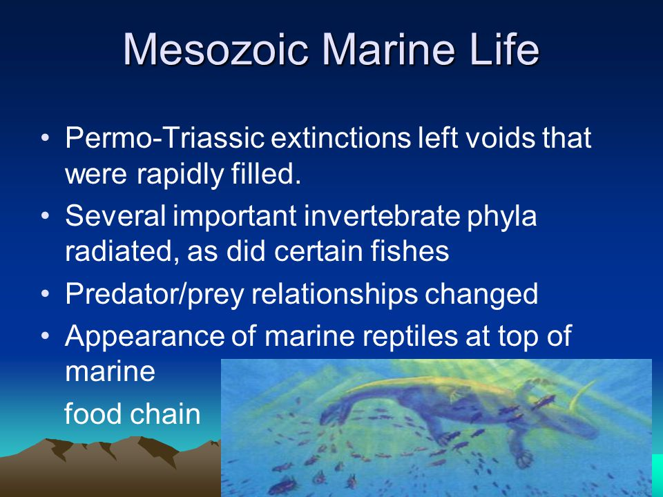 Mesozoic Marine Life Permo-Triassic extinctions left voids that were rapidly filled. Several important invertebrate phyla radiated, as did certain fis