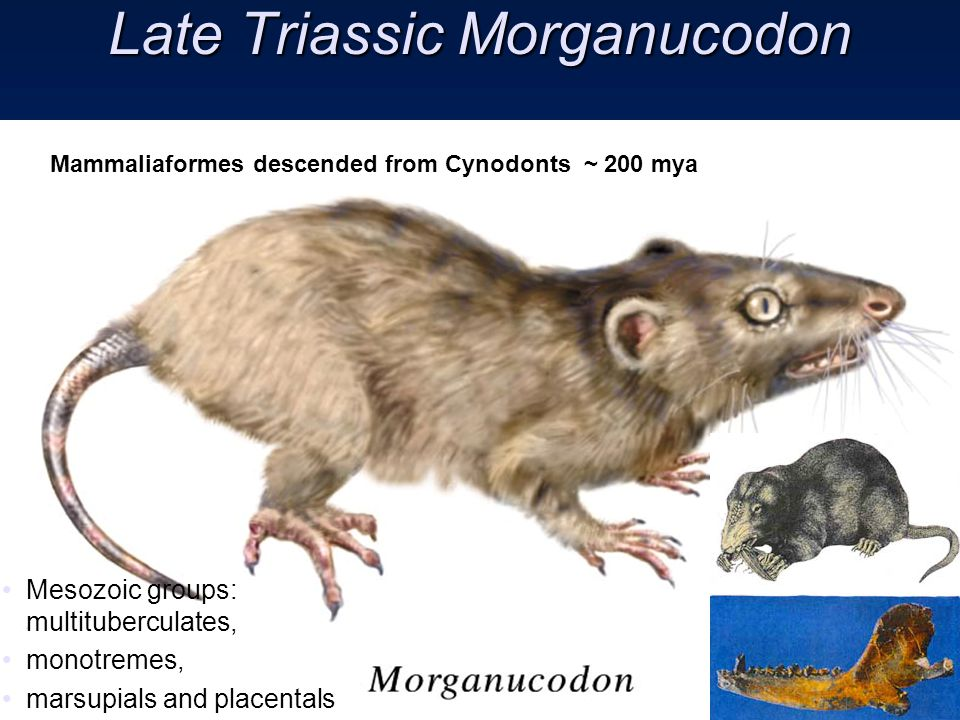 Late Triassic Morganucodon Mammaliaformes descended from Cynodonts ~ 200 mya Mesozoic groups: multituberculates, monotremes, marsupials and placentals