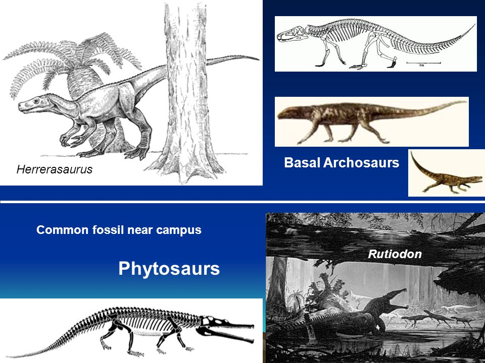Phytosaurs Basal Archosaurs Herrerasaurus Common fossil near campus Rutiodon