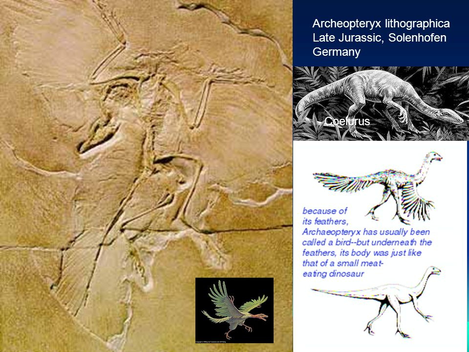 Archeopteryx lithographica Late Jurassic, Solenhofen Germany Coelurus