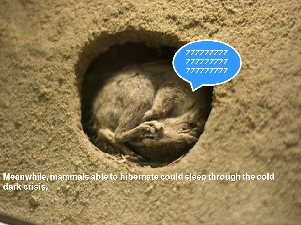 ZZZZZZZZZ ZZZZZZZZZ ZZZZZZZZZ Meanwhile, mammals able to hibernate could sleep through the cold dark crisis,