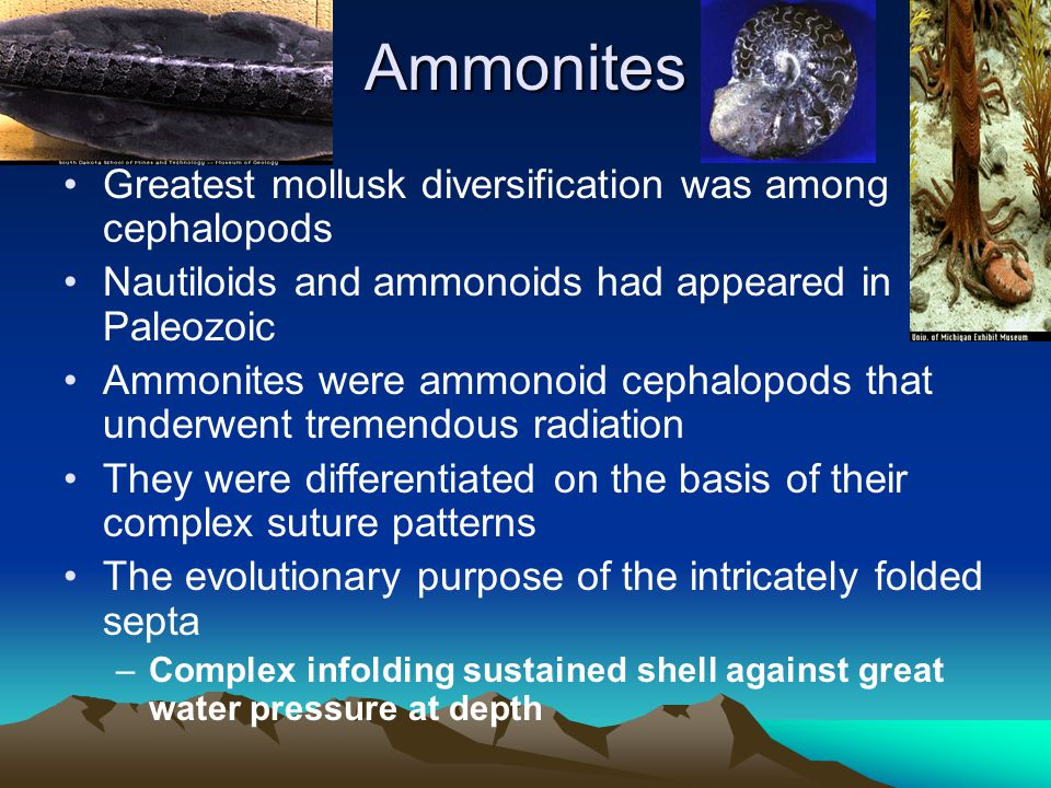 Ammonites Greatest mollusk diversification was among cephalopods Nautiloids and ammonoids had appeared in Paleozoic Ammonites were ammonoid cephalopod