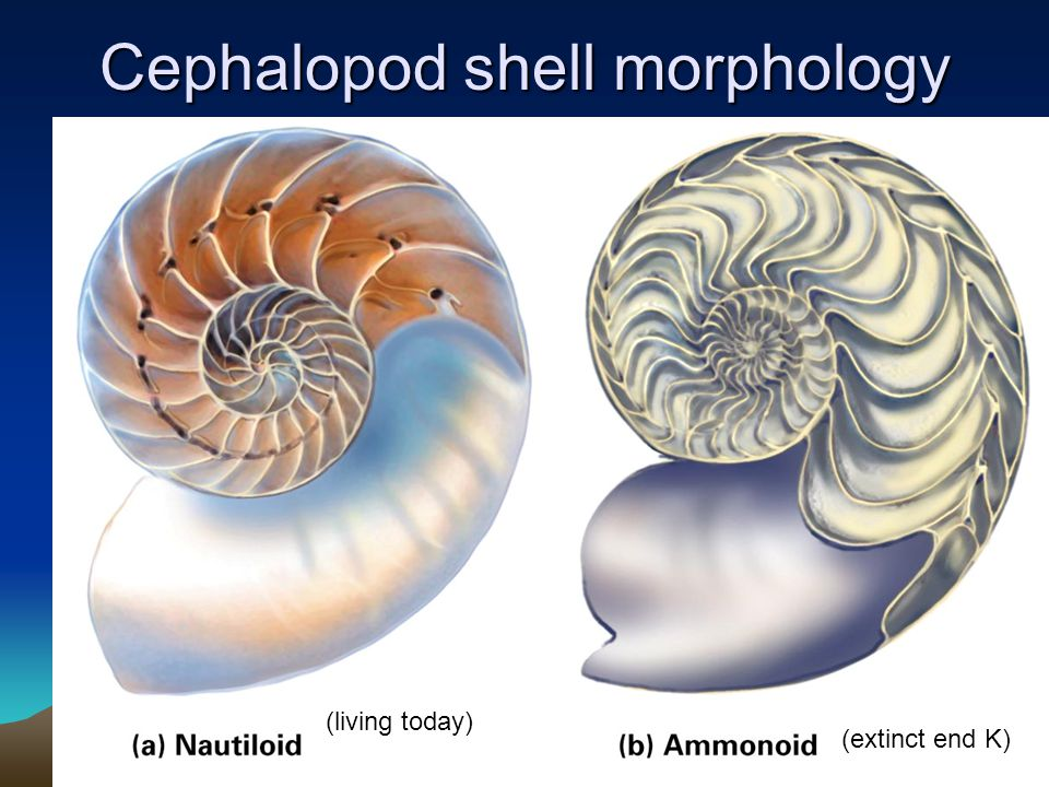 Cephalopod shell morphology (living today) (extinct end K)