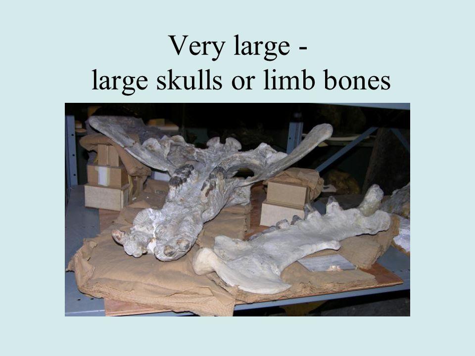 Very large - large skulls or limb bones