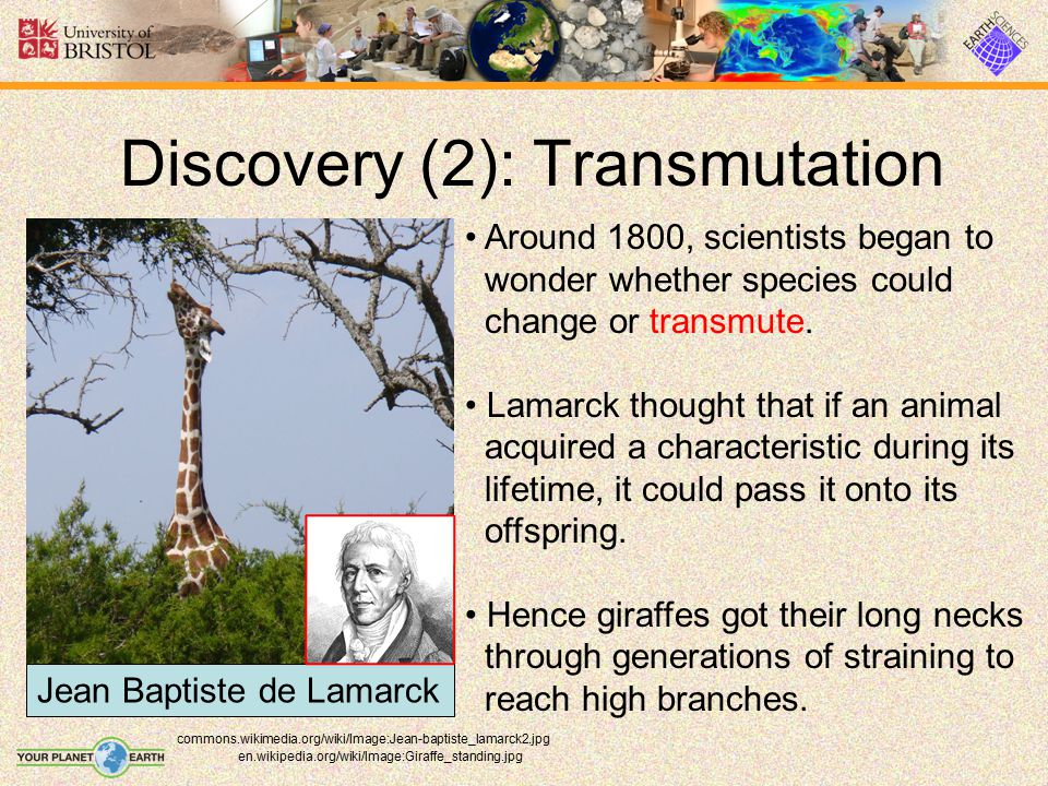 Evidence (3): Comparative Anatomy en.wikipedia.org/wiki/Image:Primatenskelett-drawing.jpg Human and Gorilla Similar comparisons can be made based on anatomical evidence.