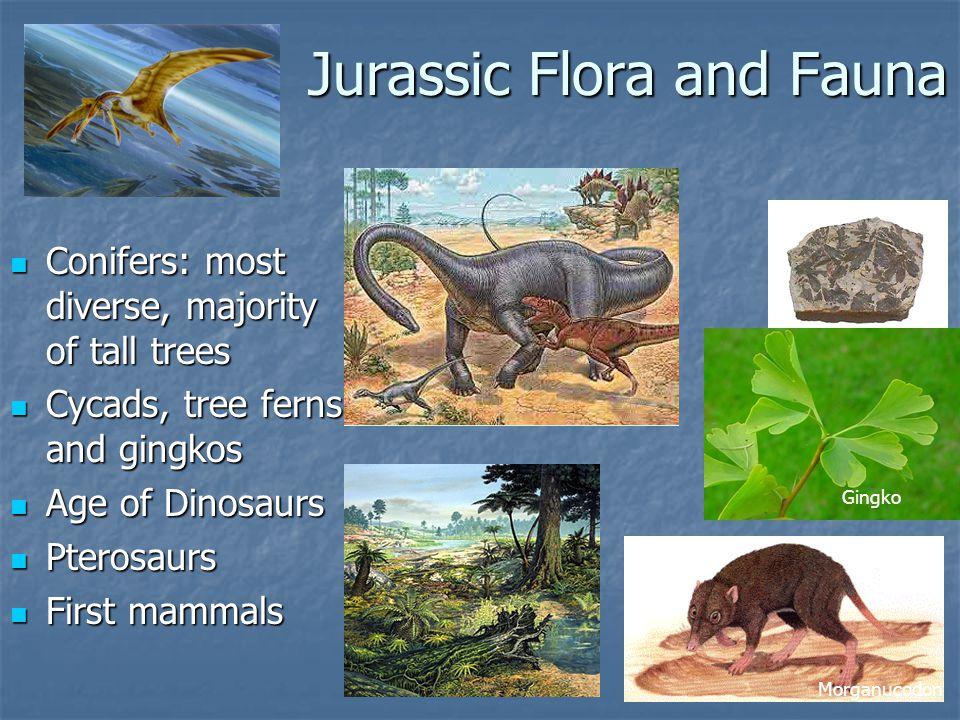 Jurassic Flora and Fauna Conifers: most diverse, majority of tall trees Conifers: most diverse, majority of tall trees Cycads, tree ferns and gingkos