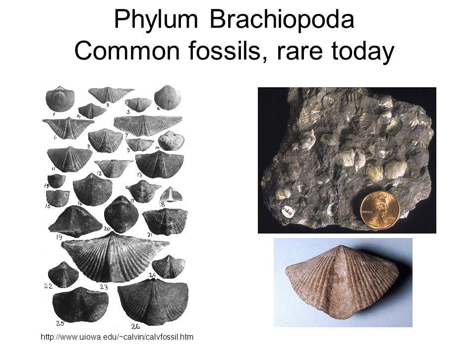 Phylum Brachiopoda Common fossils, rare today http://www.uiowa.edu/~calvin/calvfossil.htm