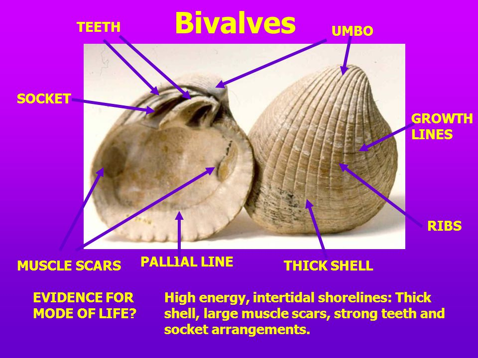 Interior of a bivalve MUSCLE SCARS TEETH AND SOCKETS PALLIAL LINE UMBO The line of symmetry of bivalves runs BETWEEN the two valves.