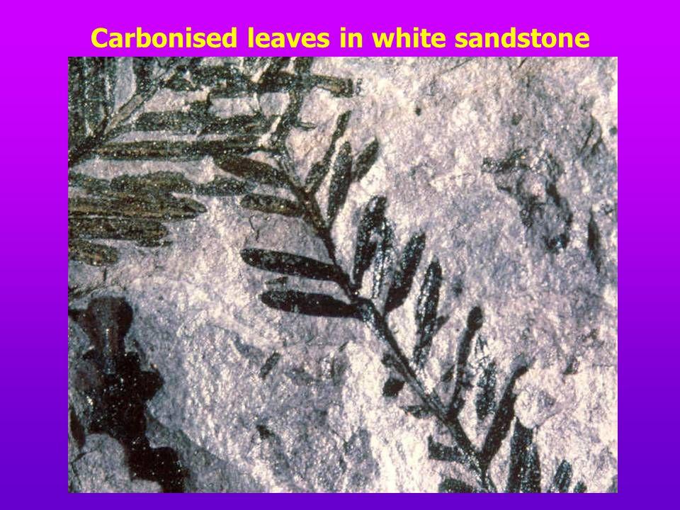 Carbonised leaves in white sandstone