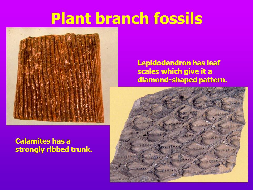 Plant branch fossils Calamites has a strongly ribbed trunk. Lepidodendron has leaf scales which give it a diamond-shaped pattern.