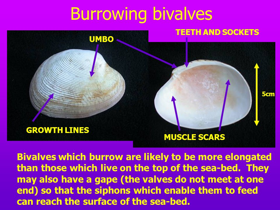 BRACHIOPODS Brachiopods differ from bivalves in that they have a sessile mode of life – they live attached to the sea-bed by a pedicle, which is a tough ligament which emerges from the pedicle opening.