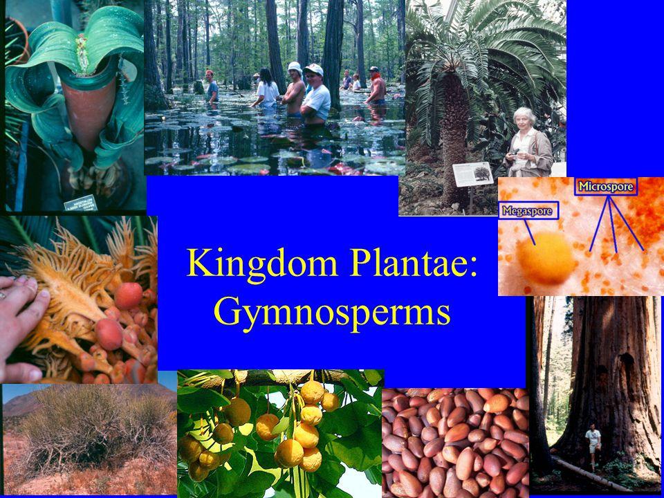 Gymnosperms Phylum Cycadophyta (cycads) Phylum Coniferophyta (conifers) Phylum Ginkgophyta (gingko) Phylum Gnetophyta (gnetophytes)