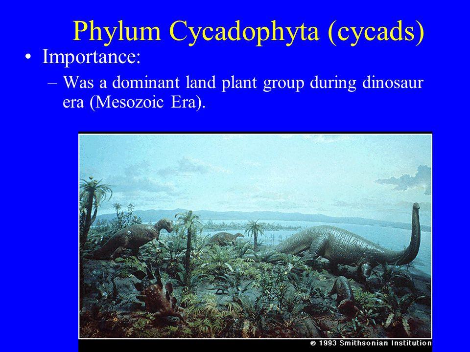 Phylum Cycadophyta (cycads) Importance: –Was a dominant land plant group during dinosaur era (Mesozoic Era).