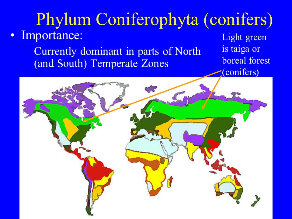 Phylum Coniferophyta (conifers) Importance: –Currently dominant in parts of North (and South) Temperate Zones Light green is taiga or boreal forest (c