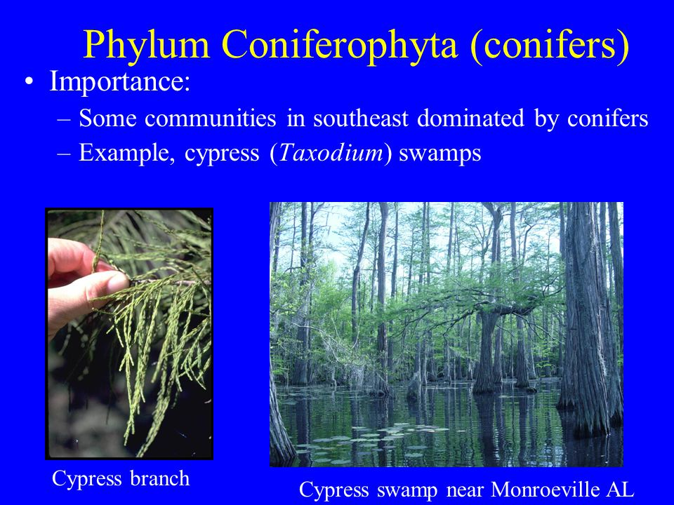 Phylum Coniferophyta (conifers) Importance: –Some communities in southeast dominated by conifers –Example, cypress (Taxodium) swamps Cypress branch Cy