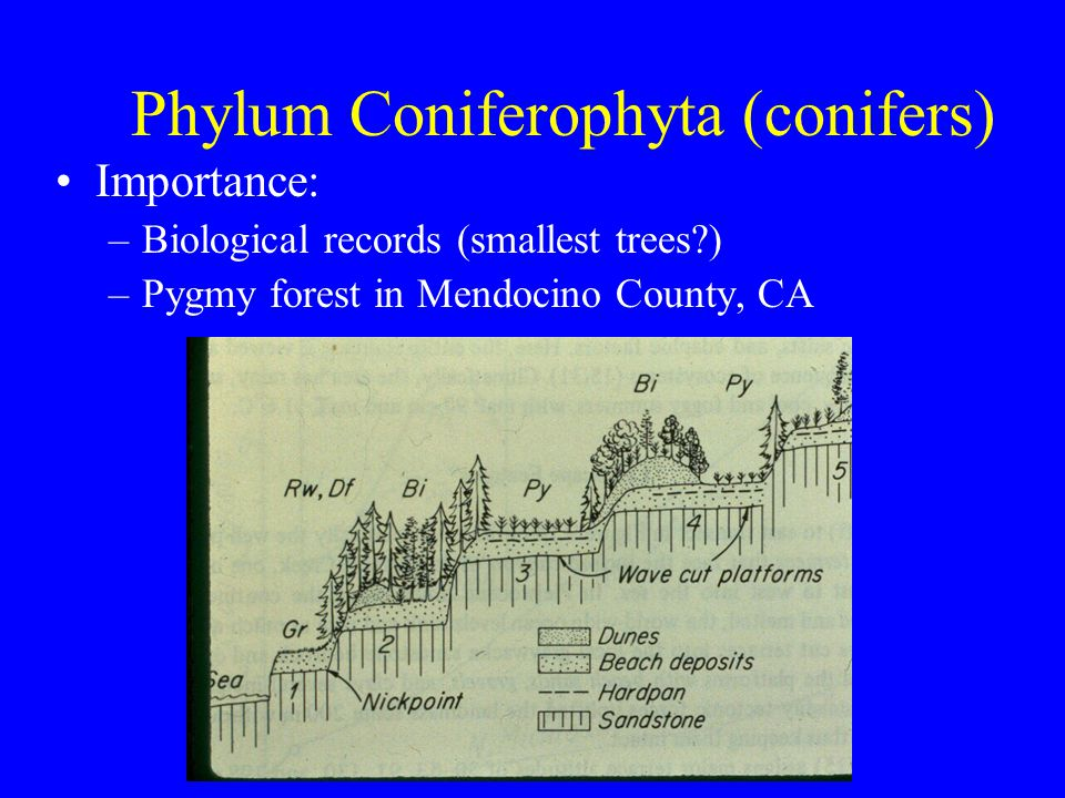 Phylum Coniferophyta (conifers) Importance: –Biological records (smallest trees?) –Pygmy forest in Mendocino County, CA