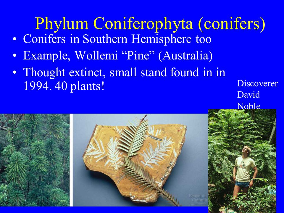 """Phylum Coniferophyta (conifers) Conifers in Southern Hemisphere too Example, Wollemi """"Pine"""" (Australia) Thought extinct, small stand found in in 1994."""