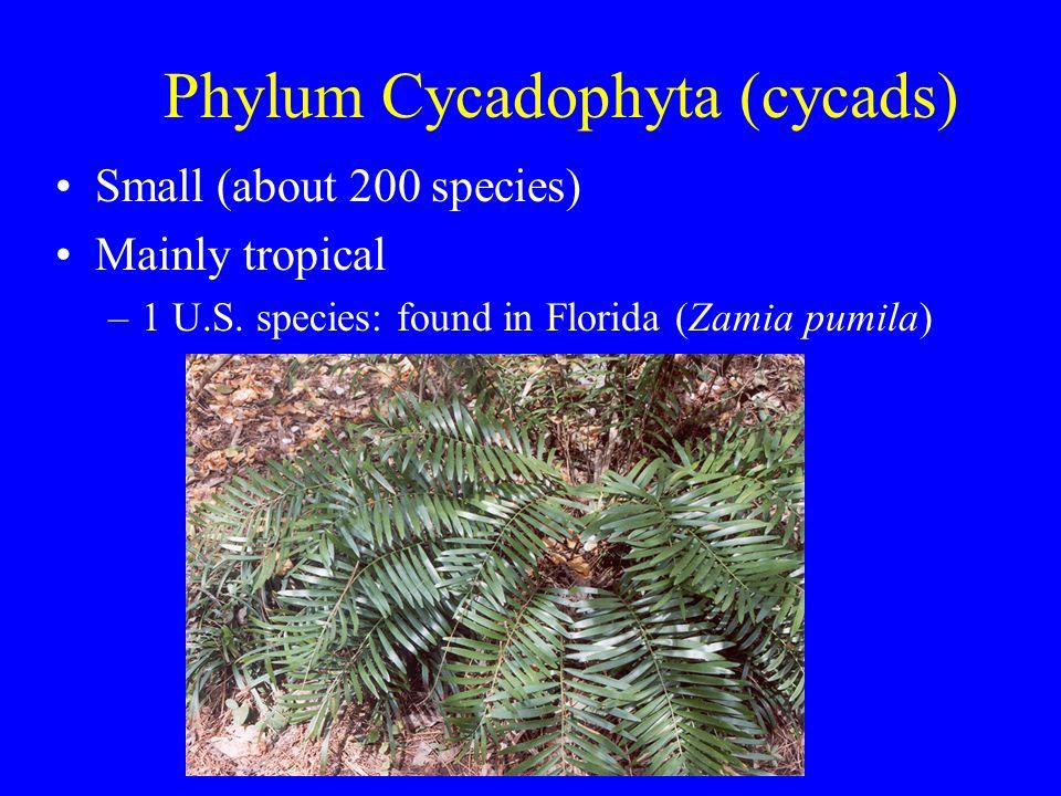 Phylum Cycadophyta (cycads) Small (about 200 species) Mainly tropical –1 U.S. species: found in Florida (Zamia pumila)