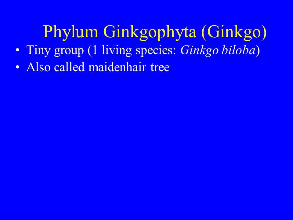 Phylum Ginkgophyta (Ginkgo) Tiny group (1 living species: Ginkgo biloba) Also called maidenhair tree