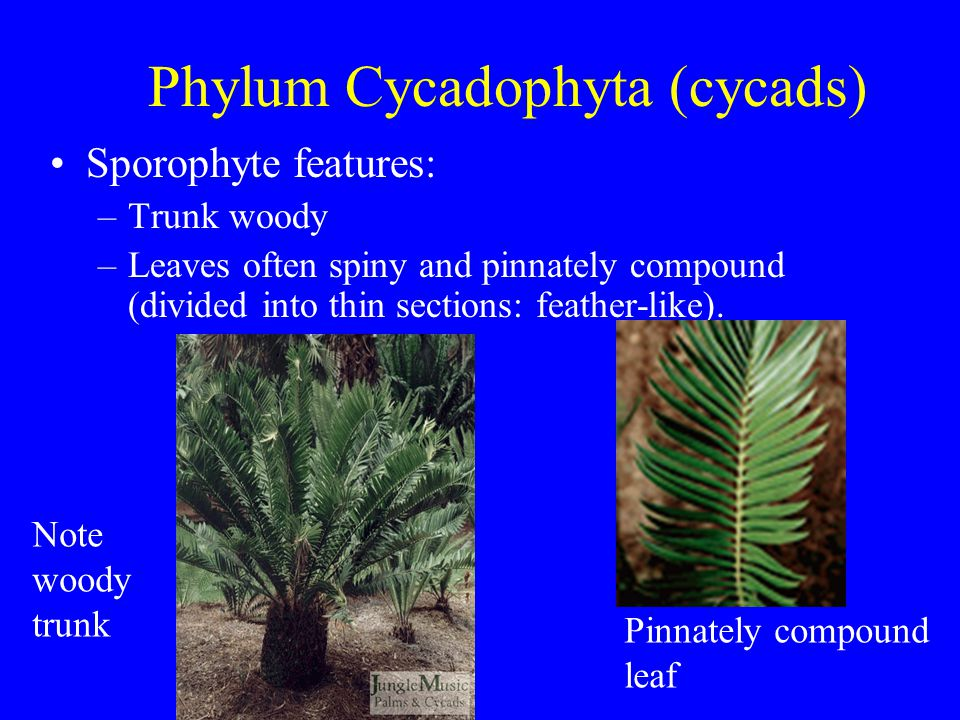 Phylum Cycadophyta (cycads) Sporophyte features: –Trunk woody –Leaves often spiny and pinnately compound (divided into thin sections: feather-like). P