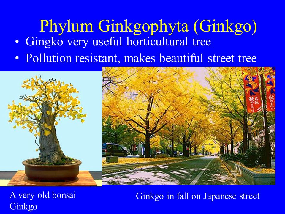 Phylum Ginkgophyta (Ginkgo) Gingko very useful horticultural tree Pollution resistant, makes beautiful street tree Ginkgo in fall on Japanese street A