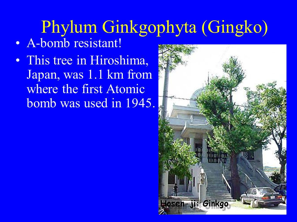 Phylum Ginkgophyta (Gingko) A-bomb resistant! This tree in Hiroshima, Japan, was 1.1 km from where the first Atomic bomb was used in 1945.